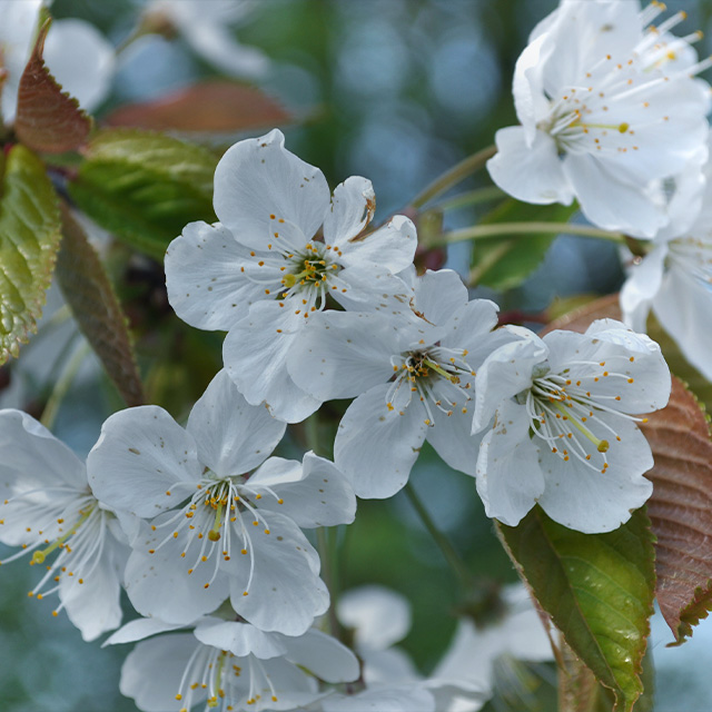 ID Coach Borup, Kombination, hvide blomster